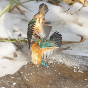 Fighting kingfishers