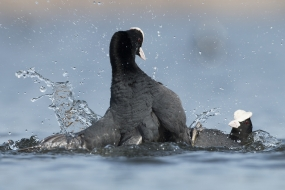 Fighting moorhens