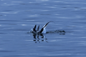Long-tailed duck's dive