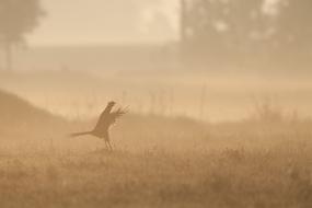 Pheasant's courtship