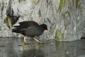 Moorhen in the land of ice