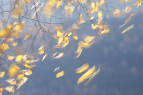 The dance of birch leaves