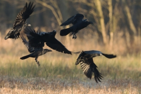 Raven gang