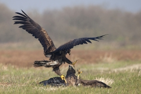 White-tailed eagles' clash