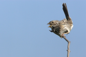 Corn bunting on a windy day
