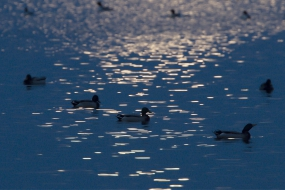 Mallards during the full moon
