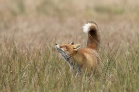 Zaciekawiony lis