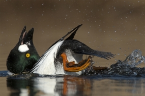 Goldeneye courtship