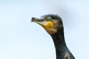 Portret kormorana
