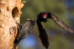 Black woodpecker's couple