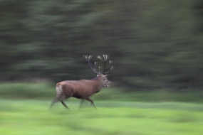 Deer running amok
