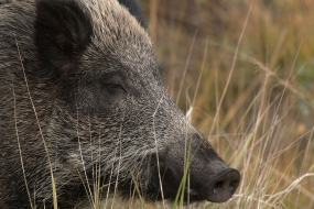 Wildboar's portrait