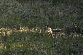 Wilki na łowach