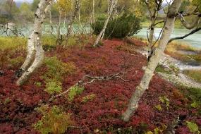 Baśń brzozowa
