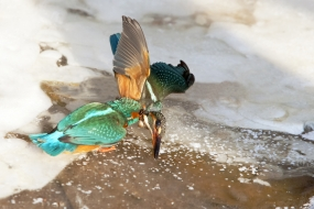 Clash of kingfishers