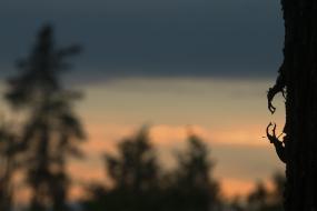 Jelonki rogacze