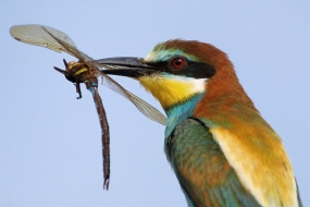 Bee-eater with a hawker