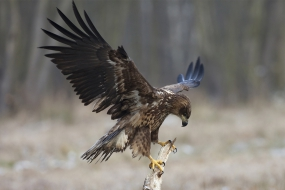 Balancing white-tailed eagle