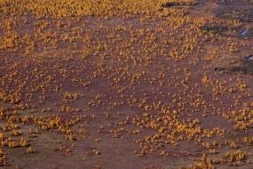 Kamczackie brzozy