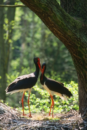 Fondness of black storks