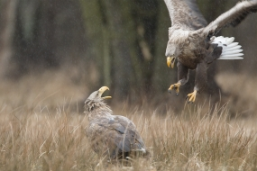 White-tailed eagles' courtship
