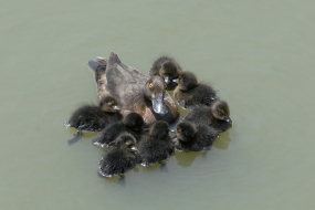 Tufted duck with its ducklings