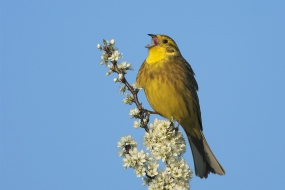 The song of a yellowhammer