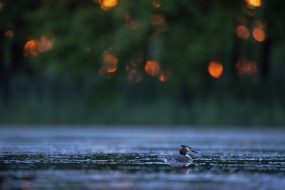 Crested grebe in the evening