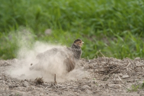 Dust bathing partridge