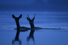 Przeprawa jeleni