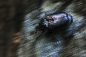 Hermit beetle's run