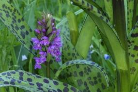 Marsh Orchid
