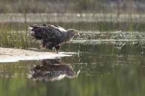 White-tailed eagle at waterhole