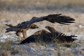 Clash of white-tailed eagles