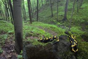 Sjesta salamander