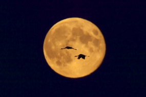 Cranes in the full moon