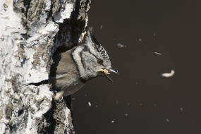 Crested tit hollowing a tree