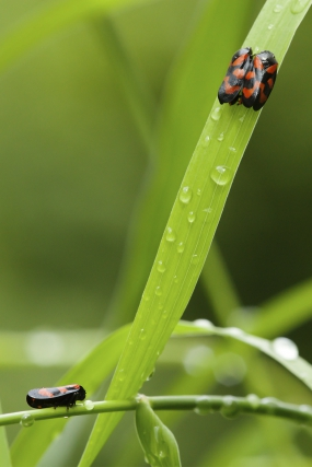 Black-and-red froghoppers