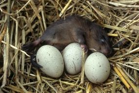 Young muskrat in moorhen's nest