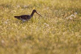 Black-tailed godwit in dew
