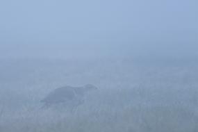 Jastrząb we mgle