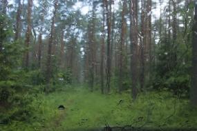 Deszczowy bór