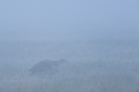 Goshawk in the mists