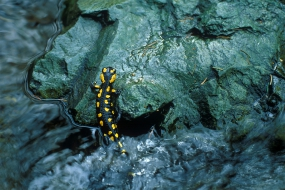 Salamander in a stream