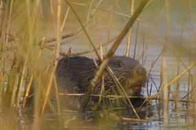 Beaver's breakfast