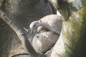 Nest-building of collared doves