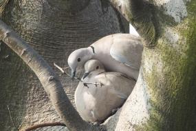 Sierpówki budujące gniazdo