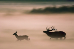 Rut in the mists