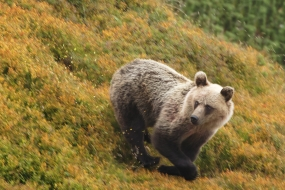 Bear's leap