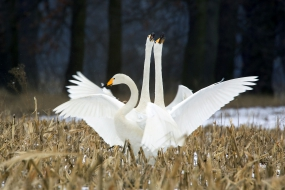 The dance of whooper swans